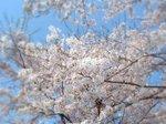 桜B.jpg